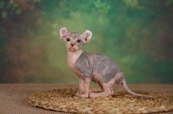 Кошечка Эльф калико