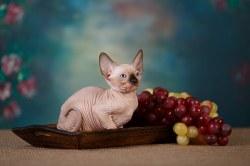 Котик сил-пойнт
